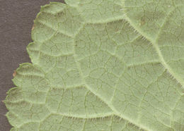Image of <i>Scrophularia scorodonia</i> L.
