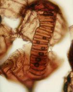 Image of <i>Polypodium vulgare</i> L.