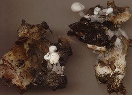Image of <i>Asterophora lycoperdoides</i> (Bull.) Ditmar 1809