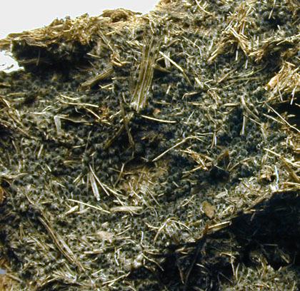 Image of <i>Cercophora coprophila</i> (Fr.) N. Lundq. 1972