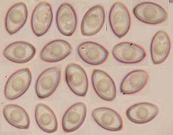 Image of <i>Leucoagaricus georginae</i> (W. G. Sm.) Candusso 1990
