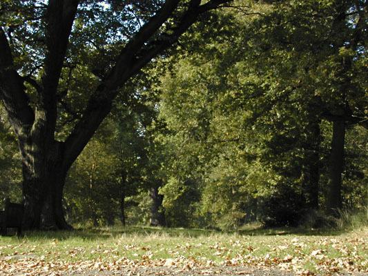 Image of English oak