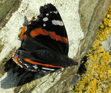 Image of Red Admiral
