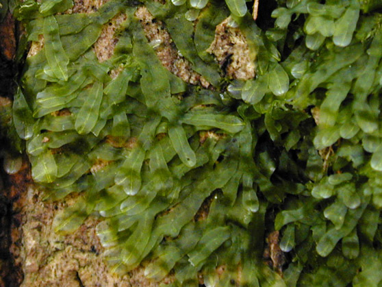 Image of <i>Metzgeria furcata</i> (L.) Corda