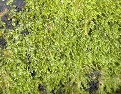 Image of <i>Metzgeria consanguinea</i> Schiffn.