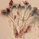 Image of parasitic dactylospora lichen