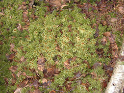 Image of Prairie sphagnum moss