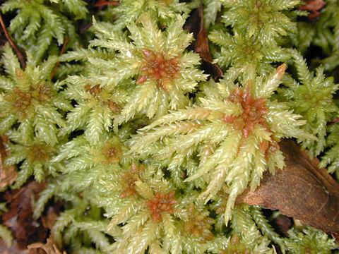 Image of Blunt-leaved Bog-moss