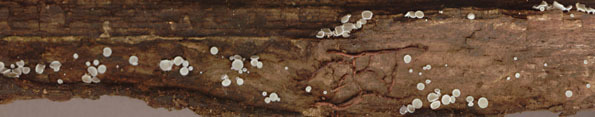 Image of <i>Lachnum virgineum</i> (Batsch) P. Karst. 1871