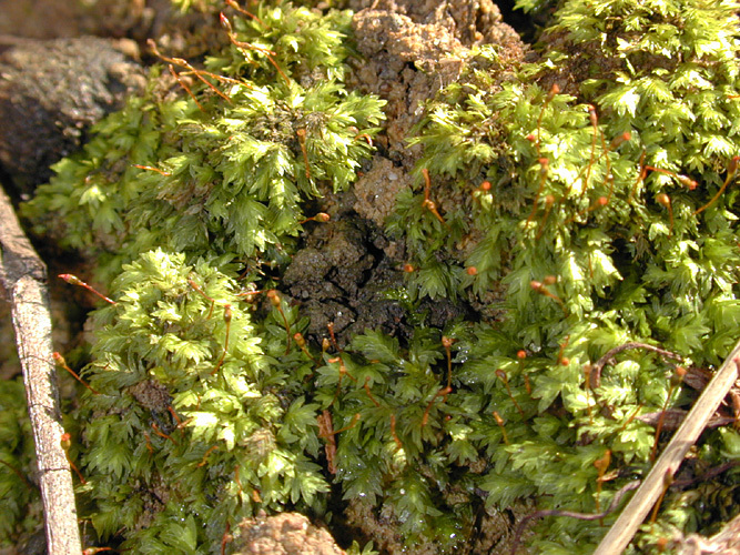 Image of bryoid fissidens moss