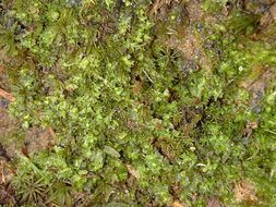 Image of <i>Fossombronia <i>pusilla</i></i> var. pusilla
