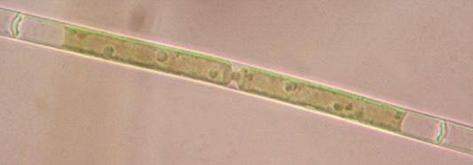 Image of Mougeotia