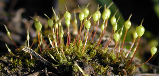 Image of Common Bladder Moss