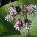 Imagem de <i>Petasites fragrans</i> (Vill.) C. Presl