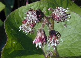 Image of <i>Petasites fragrans</i> (Vill.) C. Presl