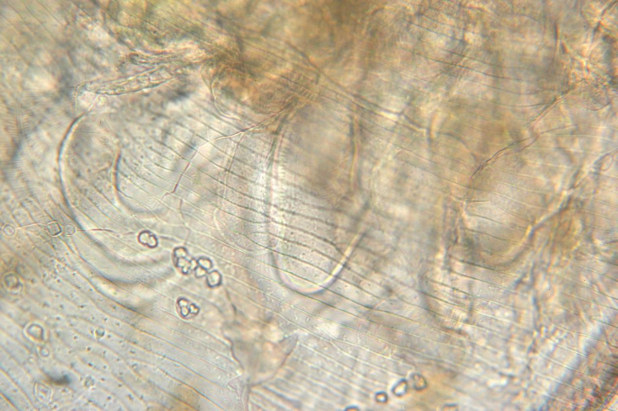 Image of <i>Simocephalus vetulus</i> (O. F. Müller 1776)