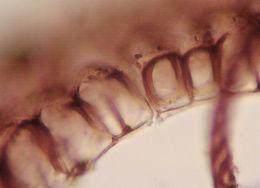 Image of <i>Targionia hypophylla</i> L.