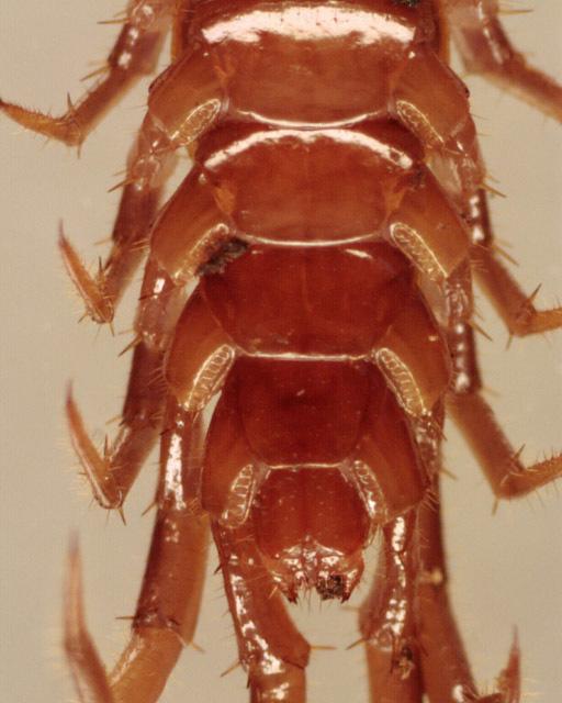 Image of Common centipede