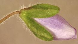 Image of slender speedwell
