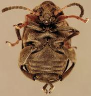 Image of Bean seed beetle