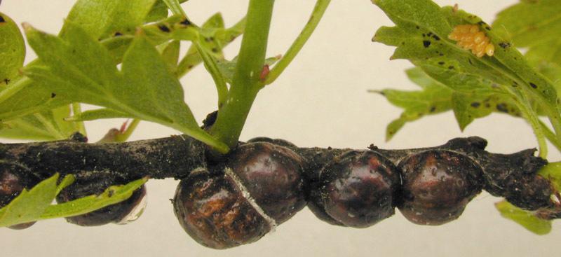 Image of <i>Eulecanium tiliae</i> (Linnaeus 1758)