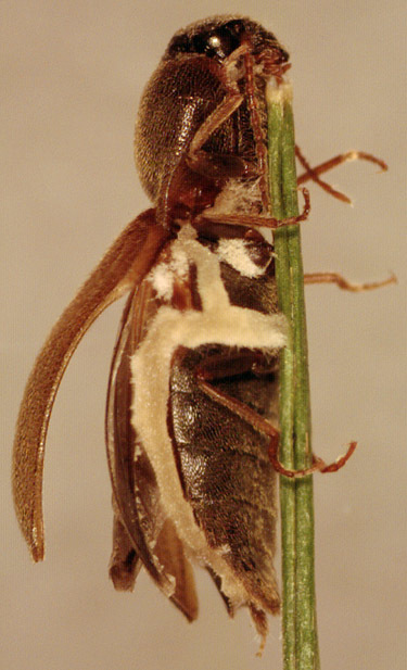 Image of <i>Zoophthora elateridiphaga</i> (Turian) Ben Ze'ev & R. G. Kenneth 1980