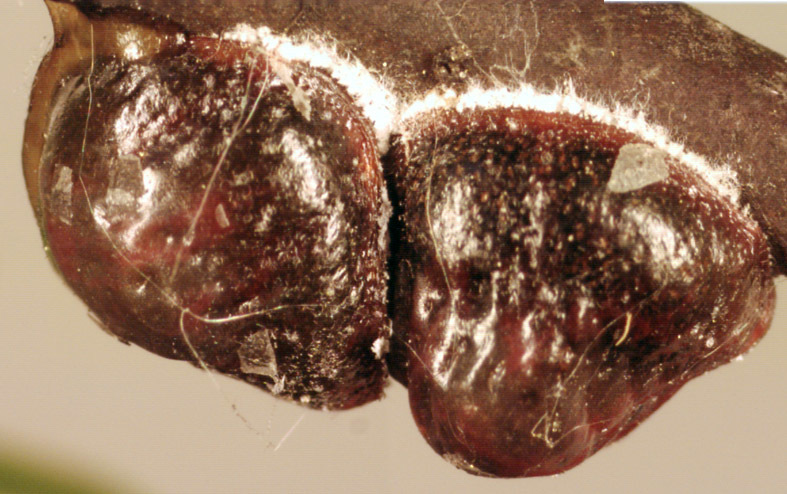 Image of Nut scale