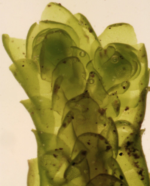 Image of Wall Scalewort