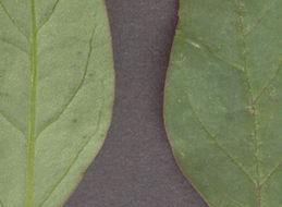 Image of manyseed goosefoot