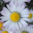 Image of lawndaisy