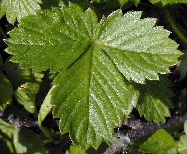 Image of woodland strawberry