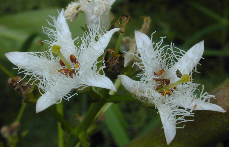 Image of Bogbean