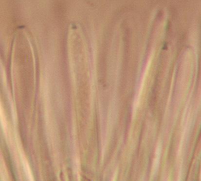 Image of <i>Crocicreas cyathoideum</i>