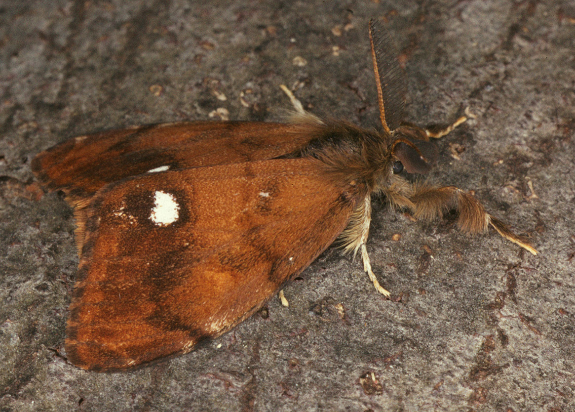 Image of Antique Tussock Moth