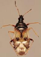 Image of <i>Anthocoris nemorum</i> (Linnaeus 1761)