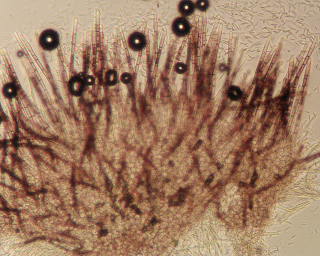 Image of <i>Lasiobelonium nidulum</i> (J. C. Schmidt & Kunze) Spooner 1987
