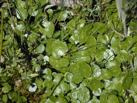 Image of Marsh Pennywort