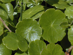 Image of Marsh Pennywort