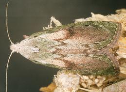 Image of <i>Aphomia sociella</i> Linnaeus 1758