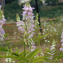 Image of Goat's rue