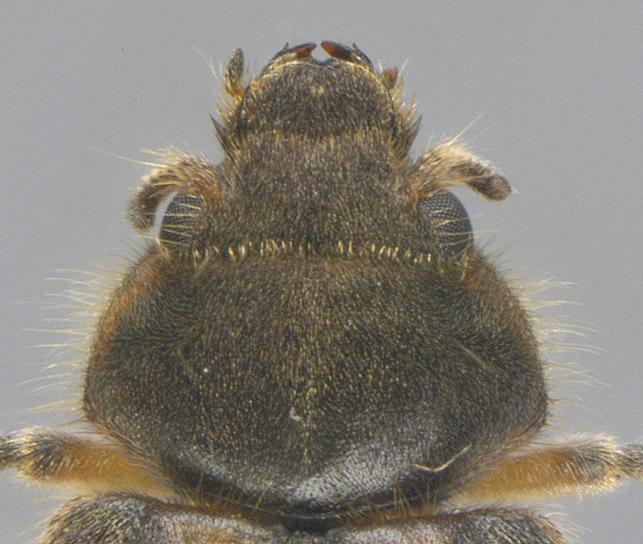 Image of <i>Heterocerus obsoletus-group</i>
