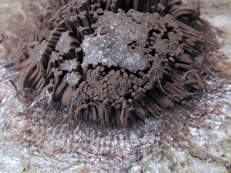 Image of <i>Stemonitis fusca</i>