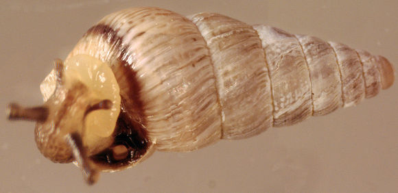 Image of Pointed snail