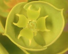 Sivun <i>Euphorbia portlandica</i> L. kuva
