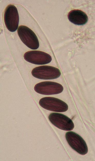 Image of <i>Ascobolus albidus</i> P. Crouan & H. Crouan 1858