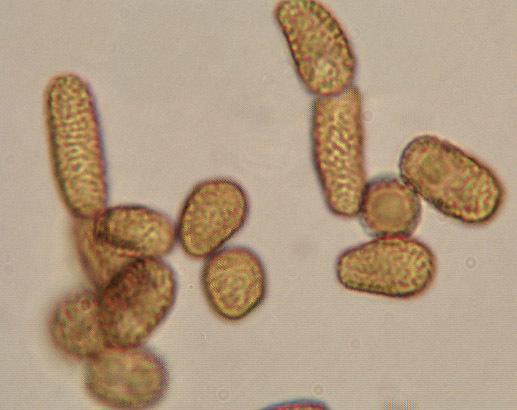 Image of <i>Farysia thuemenii</i> (A. A. Fisch. Waldh.) Nannf. 1959