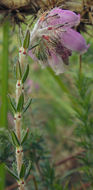 Image of Bog Heather
