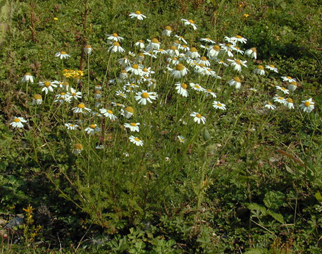 Image of <i>Tripleurospermum inodorum</i> (L.) Sch.-Bip