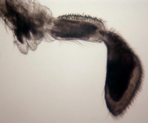 Image of <i>Dilta hibernica</i> (Carpenter 1907) Carpenter 1907
