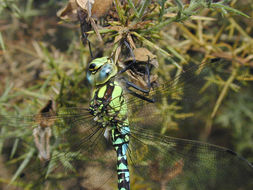 Image of Blue Hawker